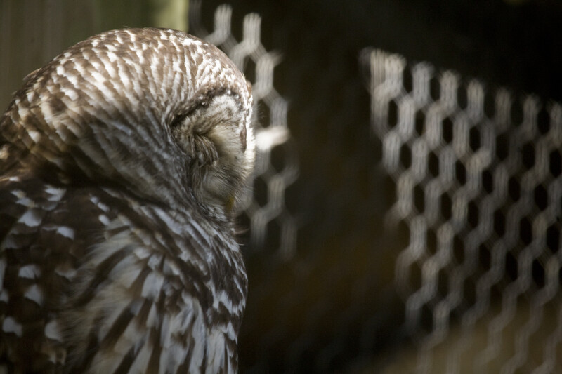 Barn Owl from the Side