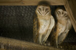 Barn Owls Sleeping in the Rafters at the Flamingo Gardens