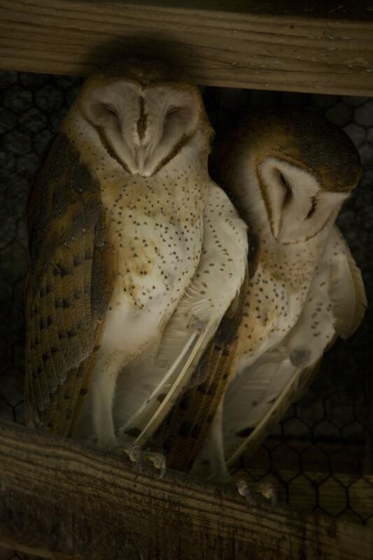 Barn Owls Sleeping
