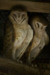 Barn Owls Sleeping