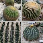 Barrel Cacti photographs