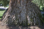 Base of a Sierra Redwood at Capitol Park in Sacramento