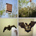 Bats photographs