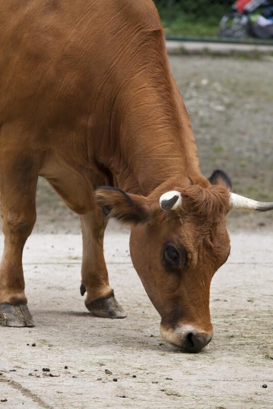 Bavarian Brown Cow Close Up