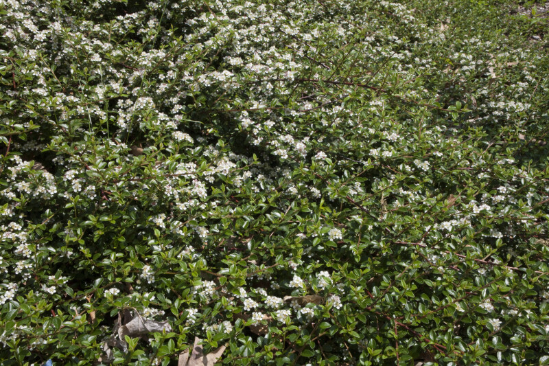 "Bearberry Cotoneaster ""Skogholm"""