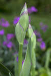 Bearded Iris Flower Bud