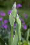 Bearded Iris Flower Bud