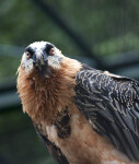 Bearded Vulture Detail