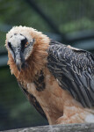 Bearded Vulture Looking Down