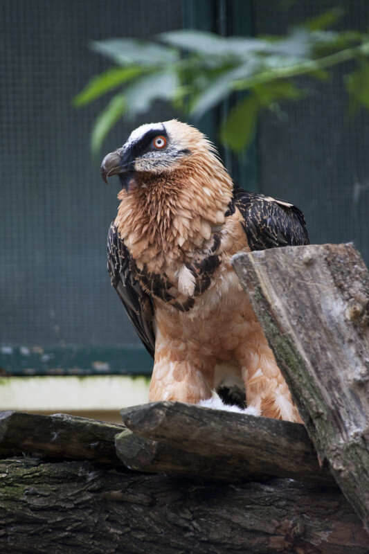 Bearded Vulture Looking to Side