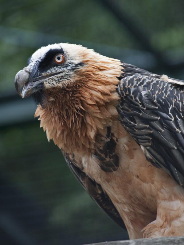 Bearded Vulture with Beak Open