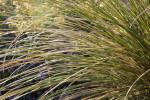 Beargrass Detail