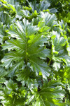 Bear's Breech Leaves
