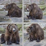 Bears photographs