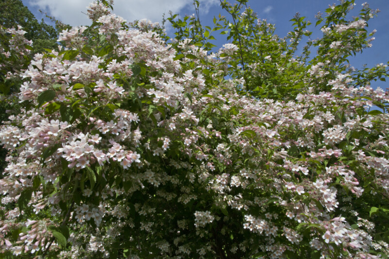 Beauty Bush with Numerous Flowers