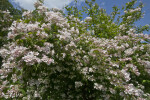 Beauty Bush with Numerous Flowers