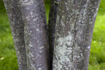 Beauverd Photinia Bark