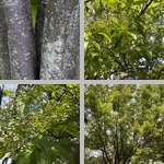 Beauverd Photinia Trees photographs