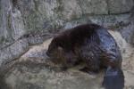 Wet Beaver Standing at Edge of Enclosure