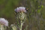 Bee Attached to Horrible Thistle