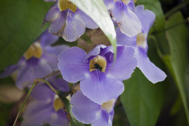 Bee in a Sky Vine Flower
