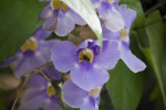 Bee in a Sky Vine Flower