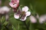 Bee on a Leptospermum Flower