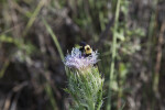 Bee on Flower of Horrible Thistle