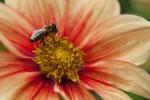 Bee on Hybrid Dahlia