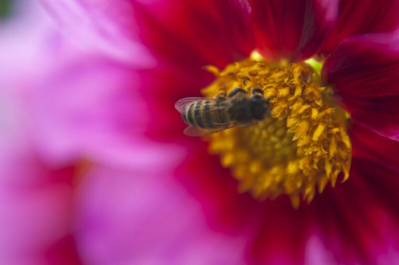 Bee on Libelle Dahlia