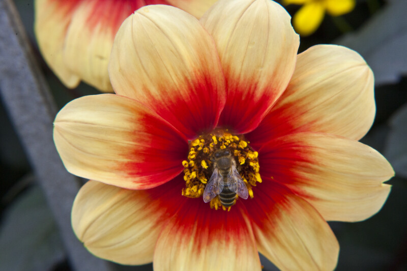 "Bee on ""Mignon Sunshine"" Dahlia Flower"
