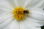 Bee on White Dahlia Flower