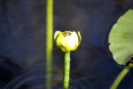 Bee on Yellow Pond Lilly