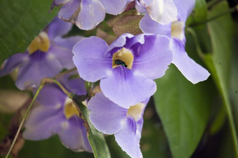 Bee Pollinating a Sky Vine