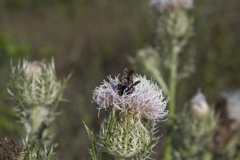 Bee with Black Coloring Pollinating Horrible Thistle Flower