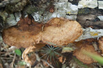 Beefsteak Polypore on Log