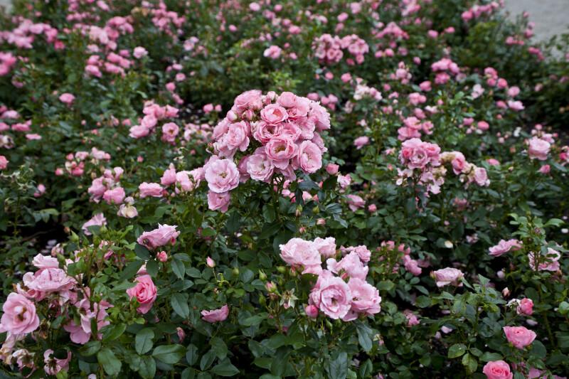 Beet-rose