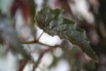 Begonia Ginny Leaf