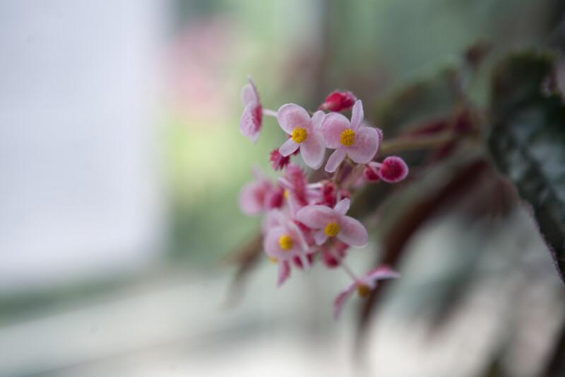 Begonia Ginny