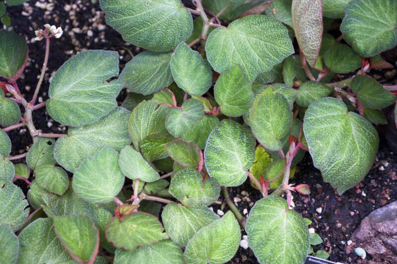 Begonia 'Pigskin'