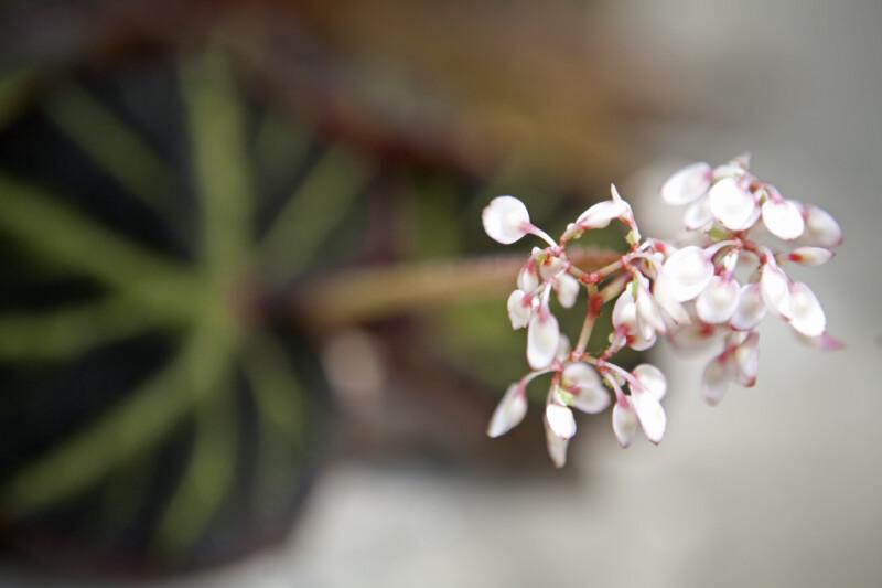 Begonia Soli-Mutata Flower