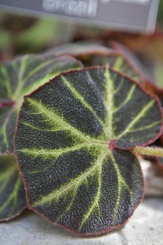 Begonia Soli-Mutata Leaf