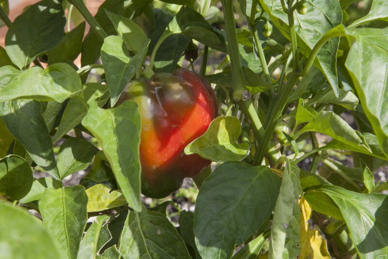 Bell Pepper Growing on a Plant