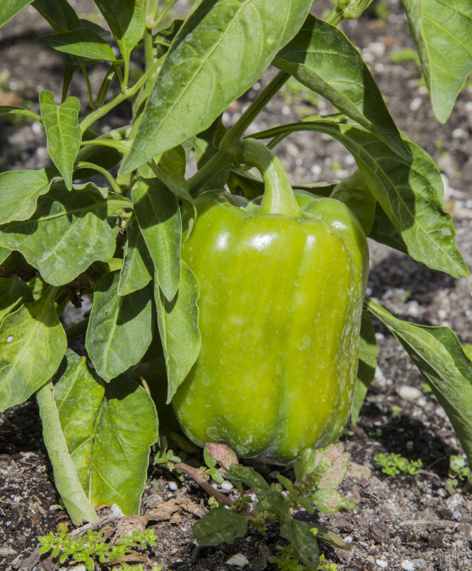 Bell Pepper Hanging From a Plant