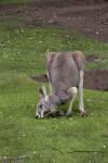 Bending Kangaroo