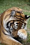 Bengal Tiger Rubbing Face