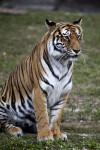 Bengal Tiger Sitting