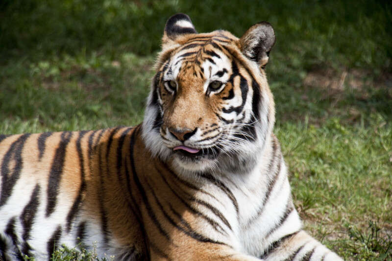 Bengal Tiger with Tongue Out