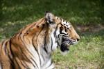 Bengal Tiger Yawn