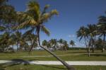 Bent Coconut Tree at Biscayne National Park